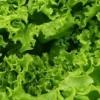 Вирощування салату в парниках і теплицях