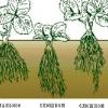 Вирощування кучерявою полуниці