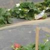 Висадка полуниці під плівку