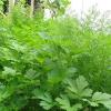 Зелень цілий рік: секрети вирощування